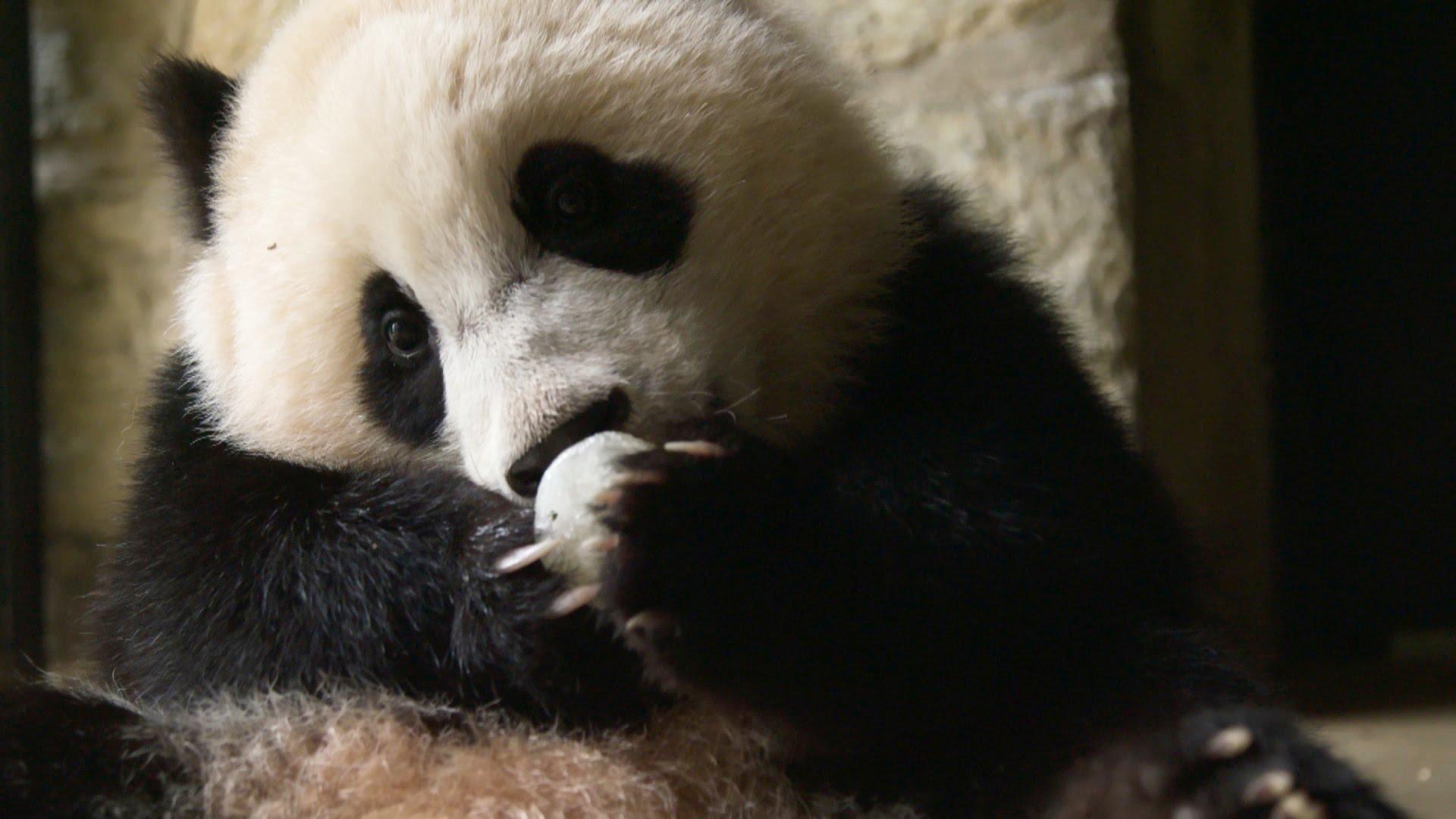 Giant Panda - Human Psychology