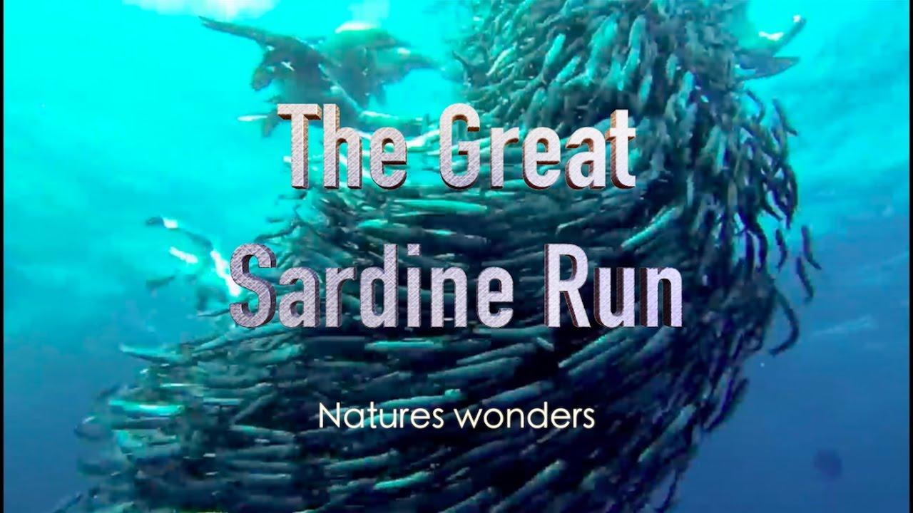 Sardine - Sardine Run