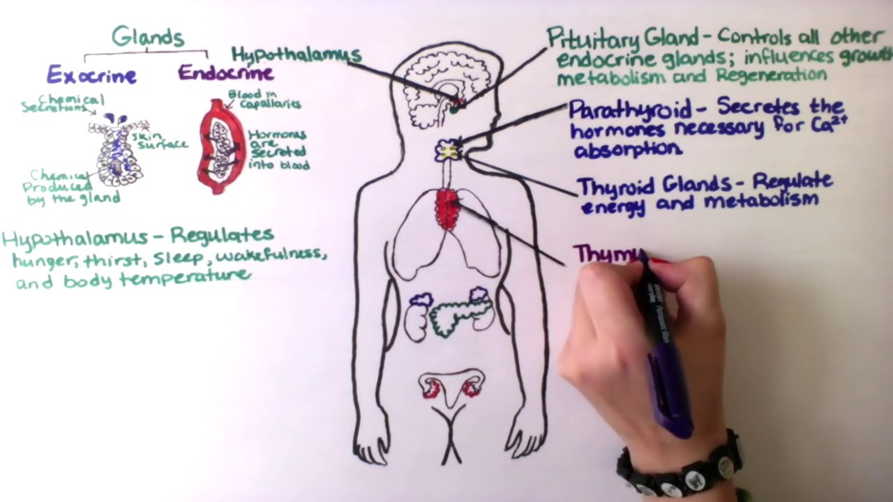 Hormones - Exocrine V. Endocrine Glands - Check123, Video Encyclopedia