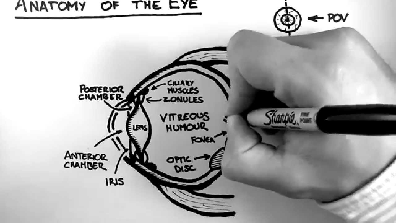 Eye - Anatomy