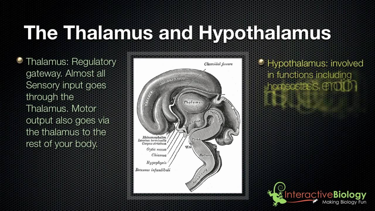 Brain - Thalamus and Hypothalamus