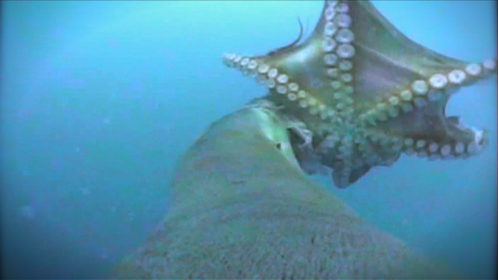 Australian Sea Lion - Hunting Octopus
