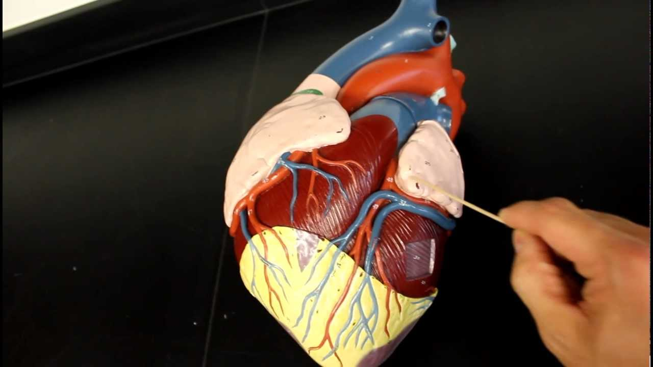 Heart - Coronary Circulation