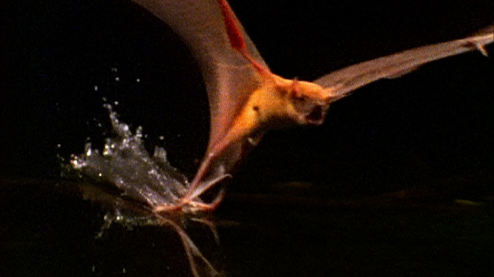 Fish-Eating Bat