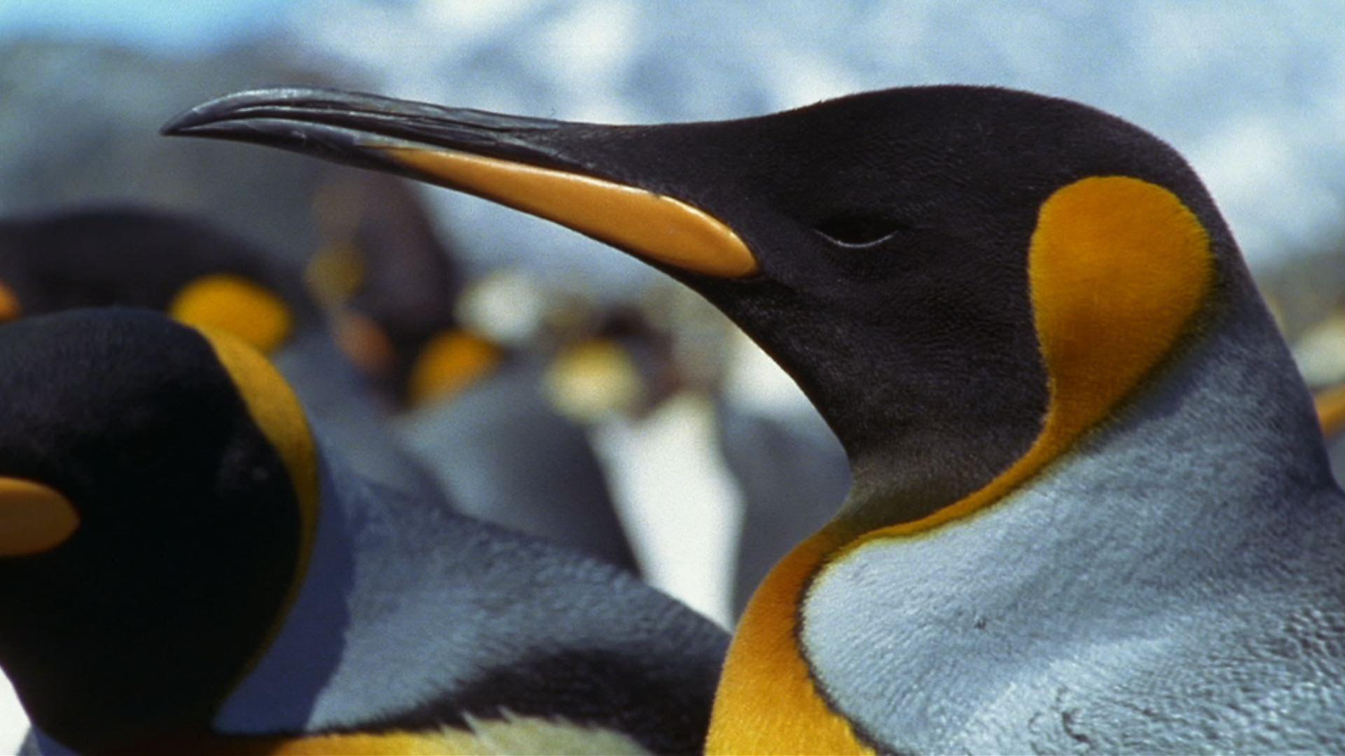 Emperor Penguin - Parenthood