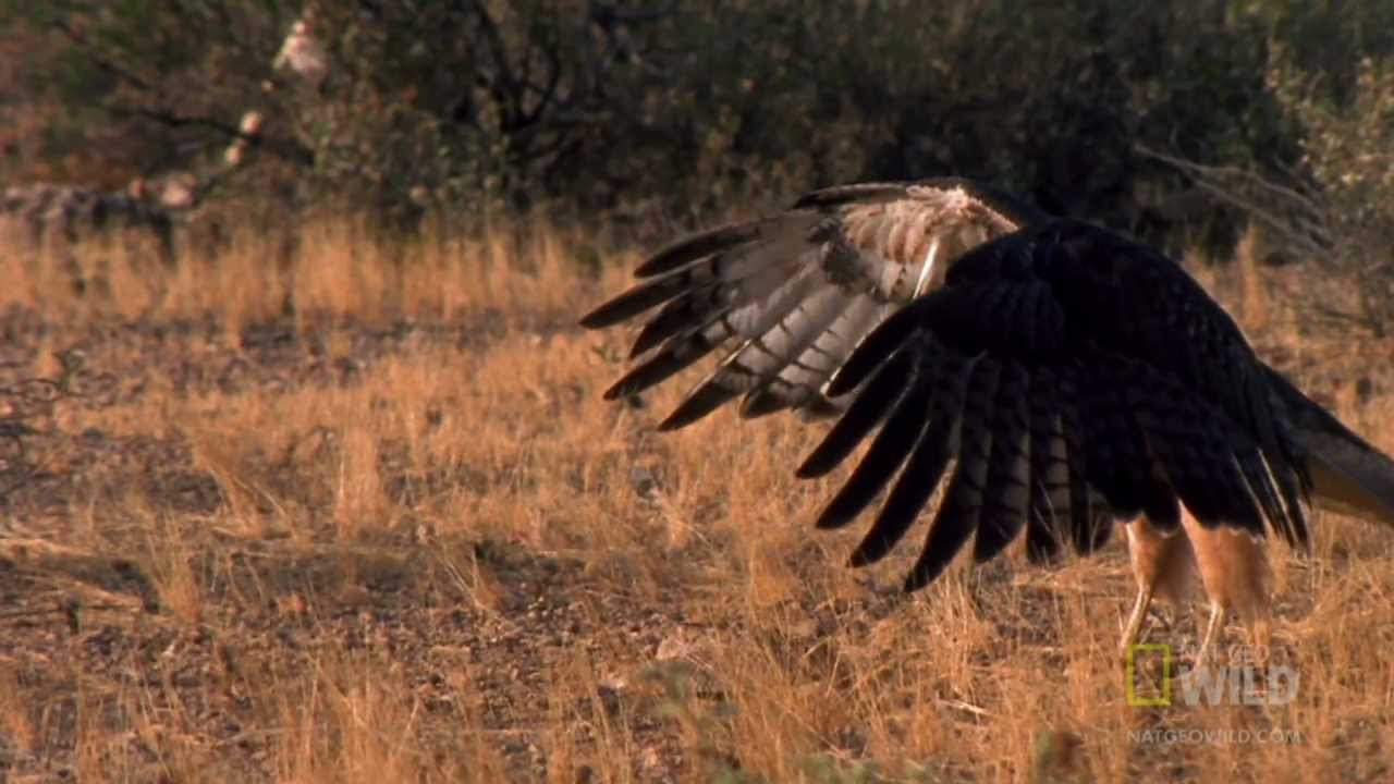 Red-Tailed Hawk - Hunting Rattlesnake