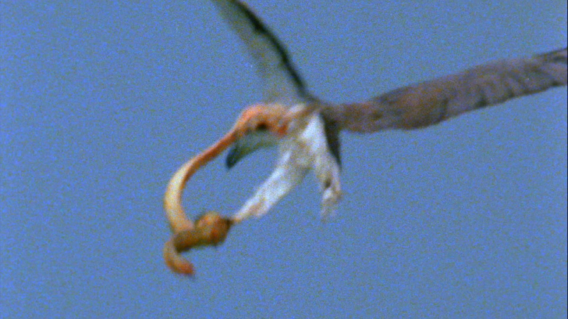 White-Bellied Sea Eagle - Hunting Banded Sea Krait
