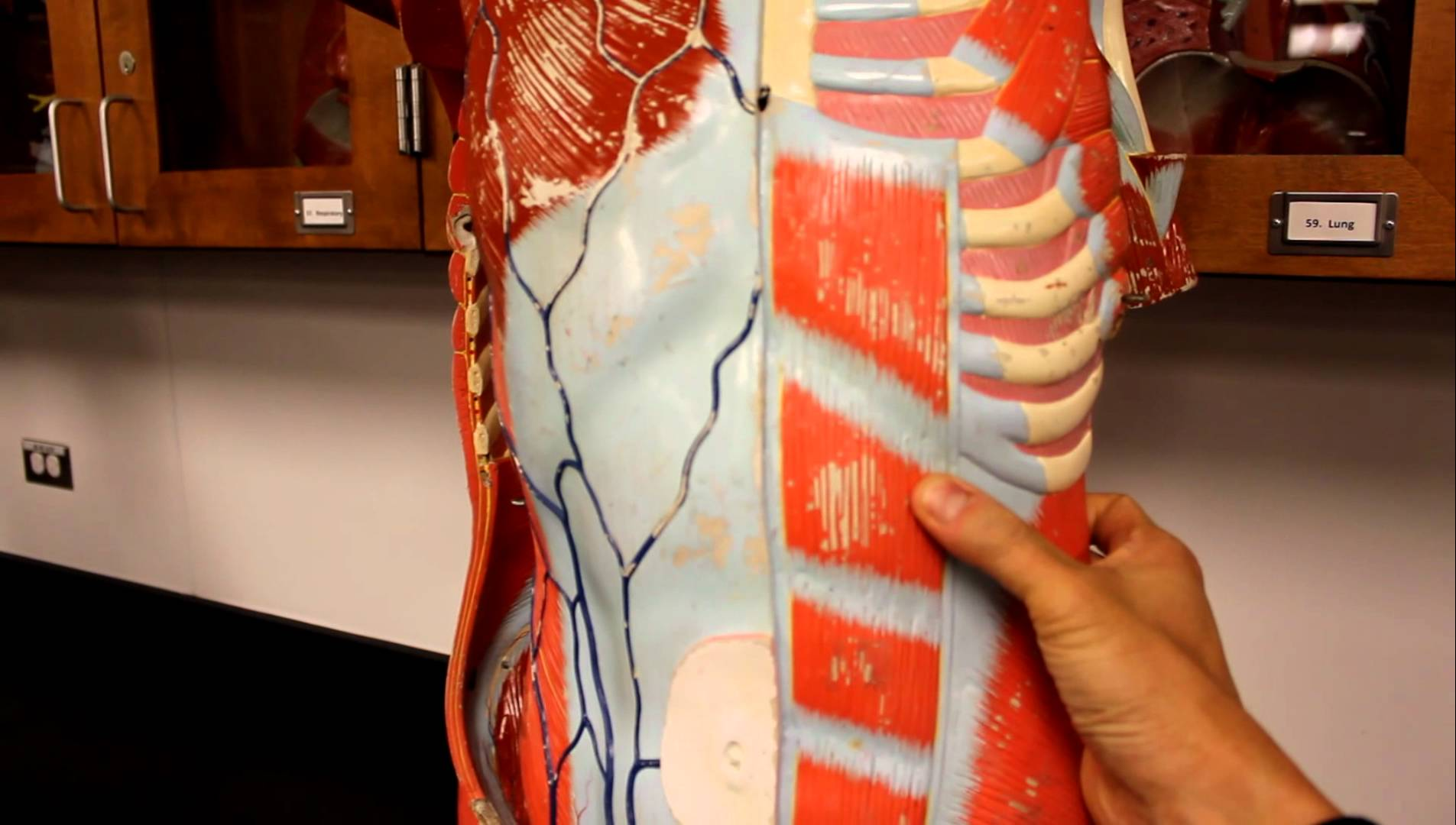 Rectus Abdominis Muscle Check123 Video Encyclopedia