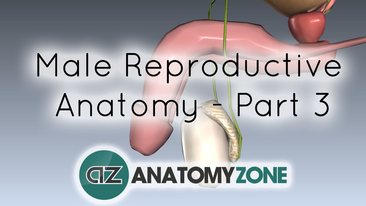 Male Reproductive System - Penis