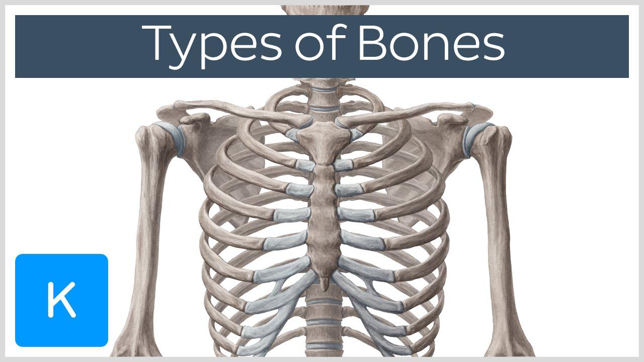 Skeleton - Bones