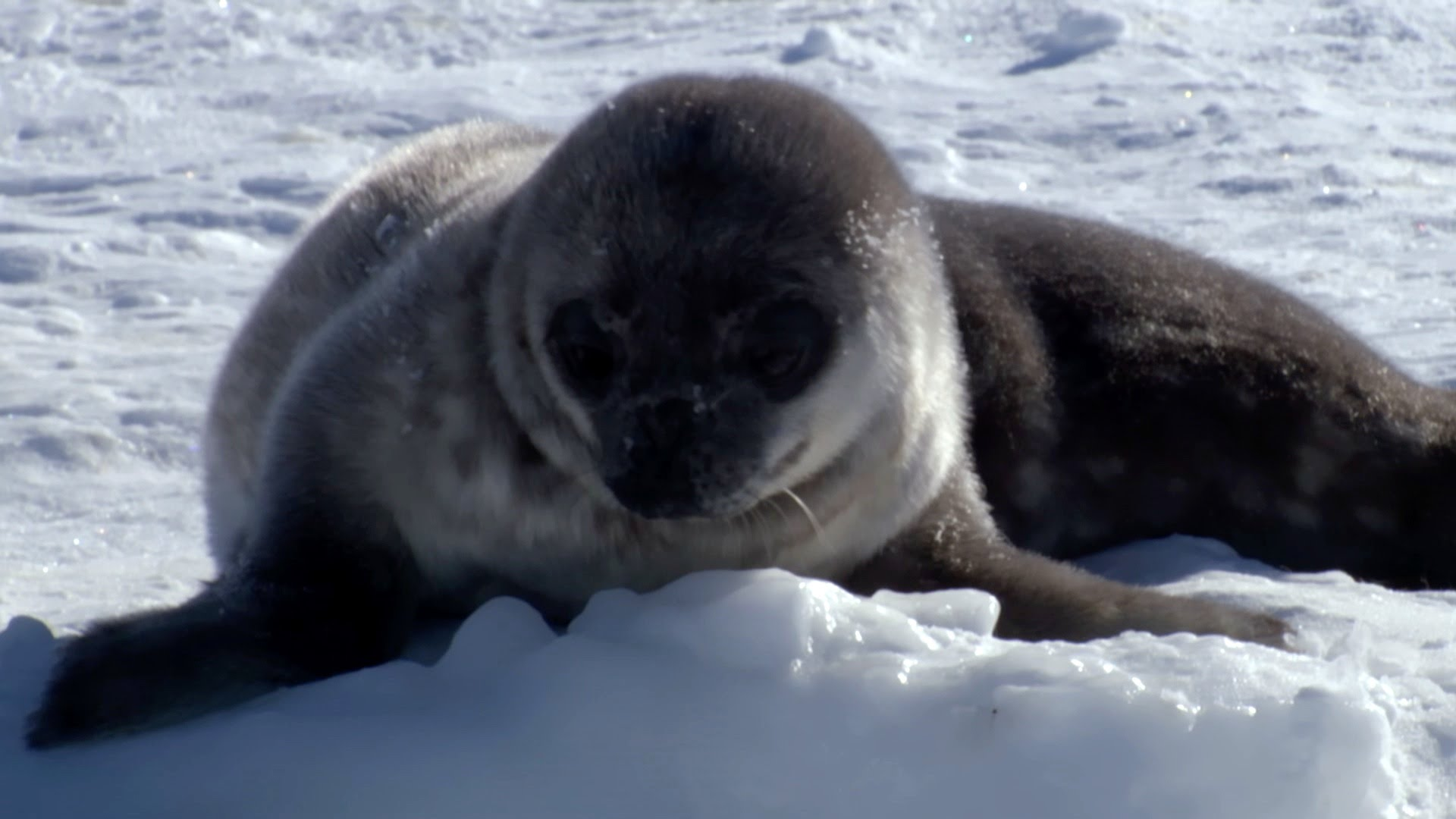 Weddell Seal - Infancy