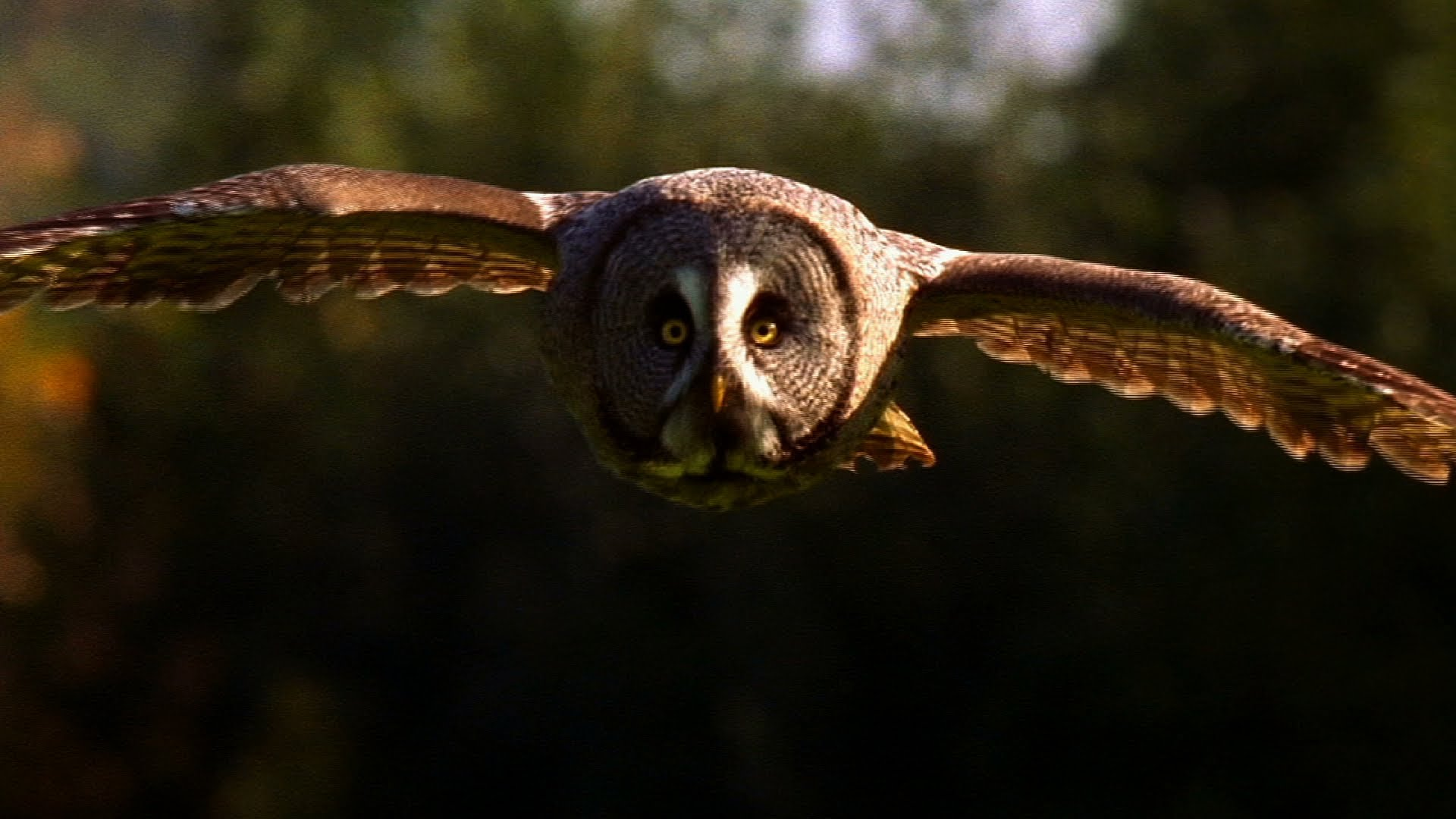 Owl - Hunting Technique