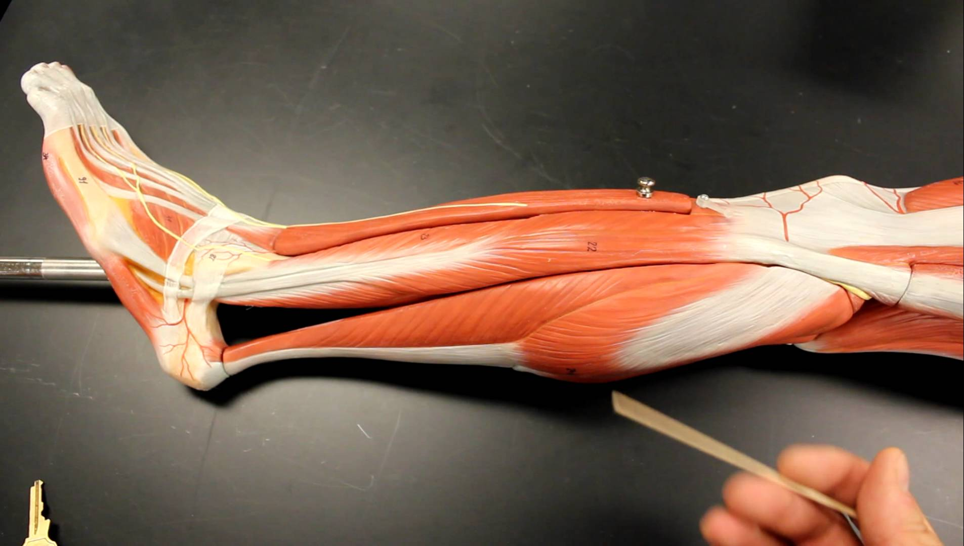 Leg - Lateral Compartment