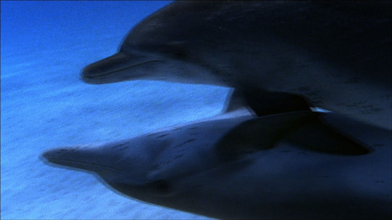 Dolphin - Sexual Behaviour