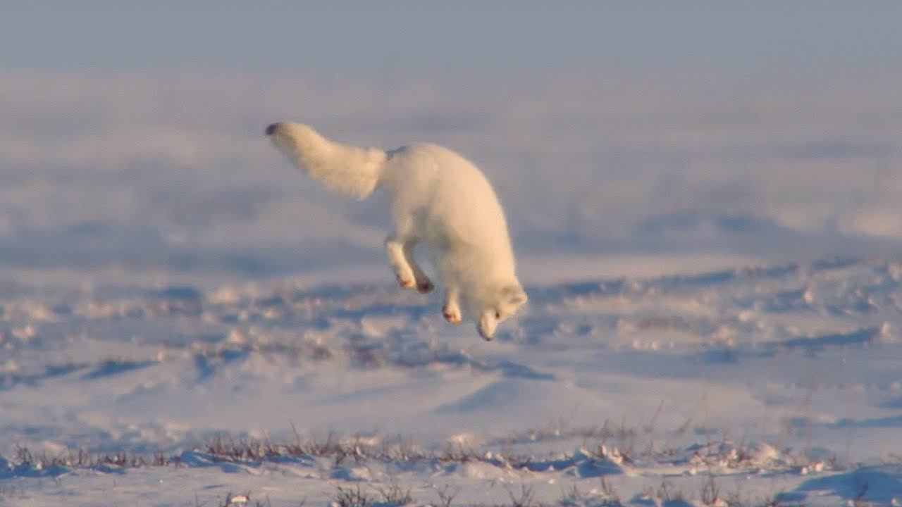 Arctic Fox - Hunting Technique
