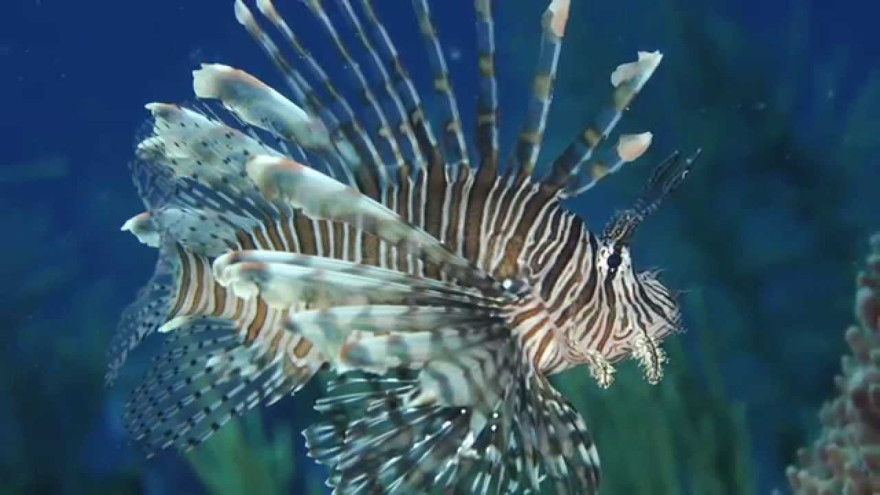 Lionfish - Invasive Species