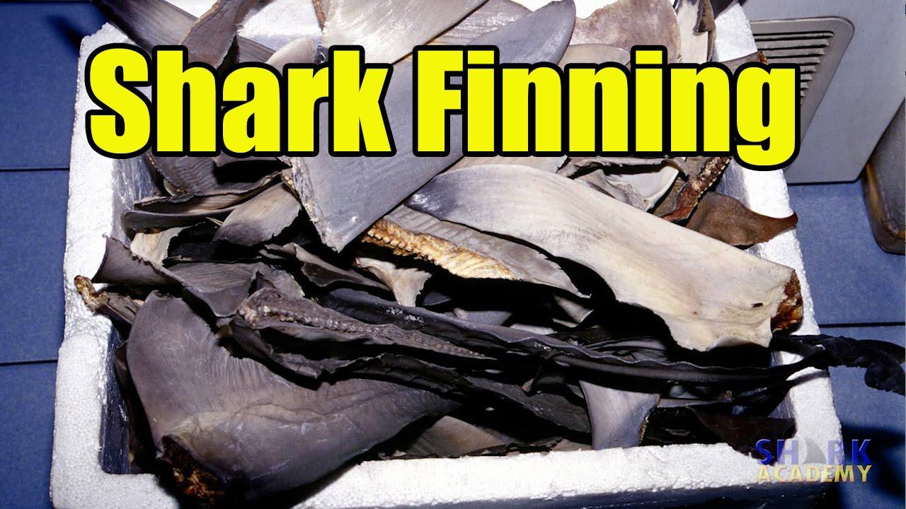 Shark - Fishery