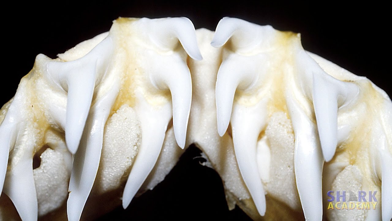 Shark - Teeth