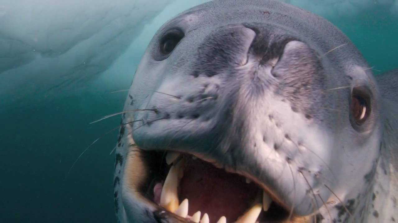 Leopard Seal - Encounter with Man