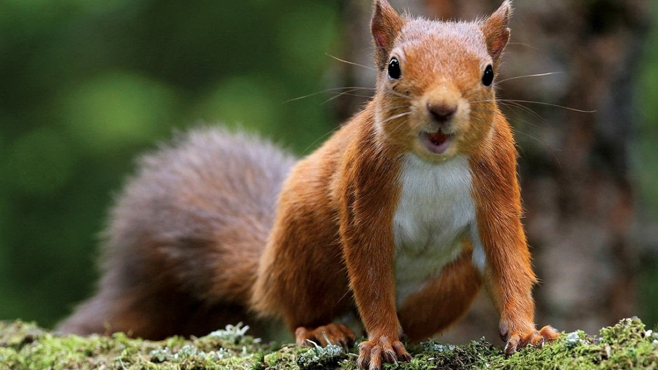 Red Squirrel - in the United Kingdom
