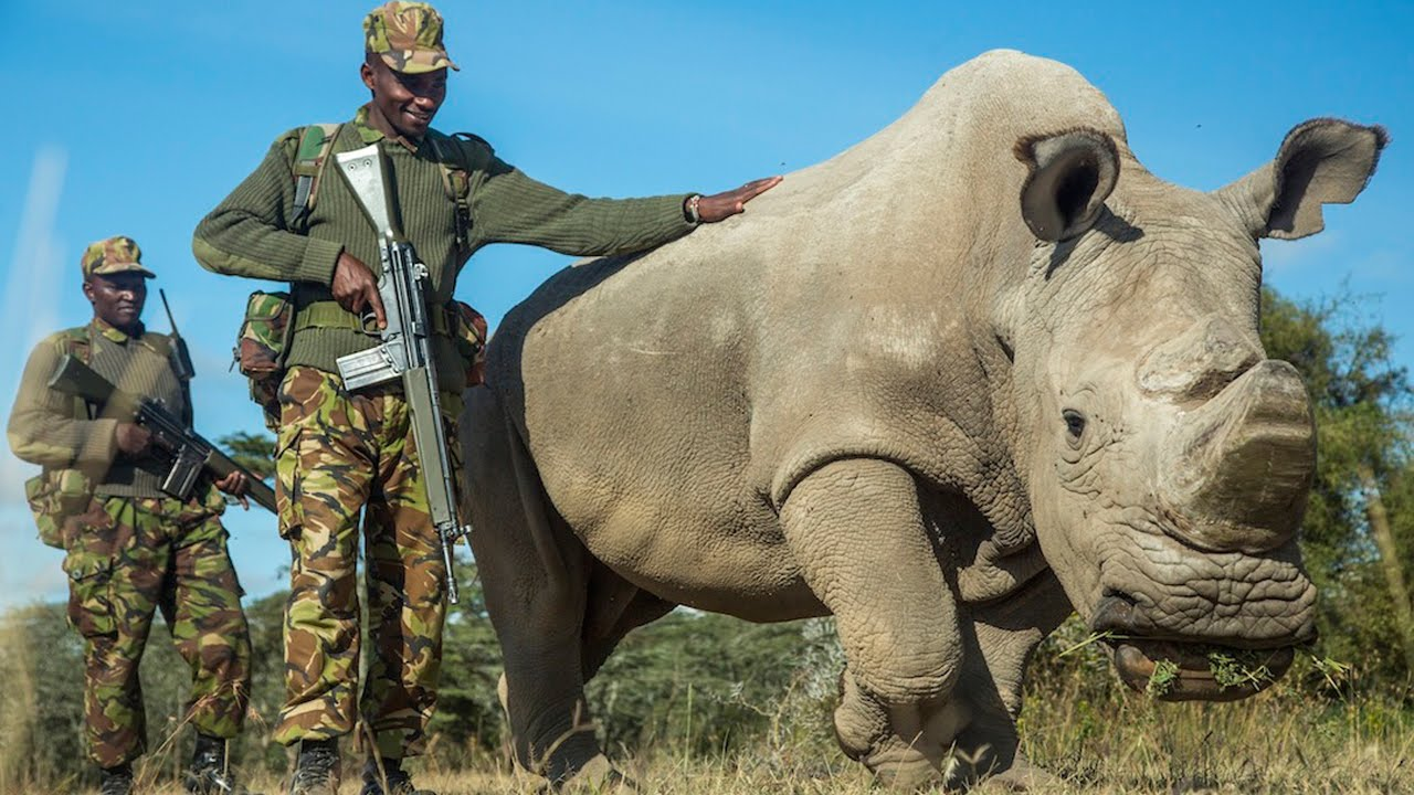 Northern White Rhinoceros - Endangered Species