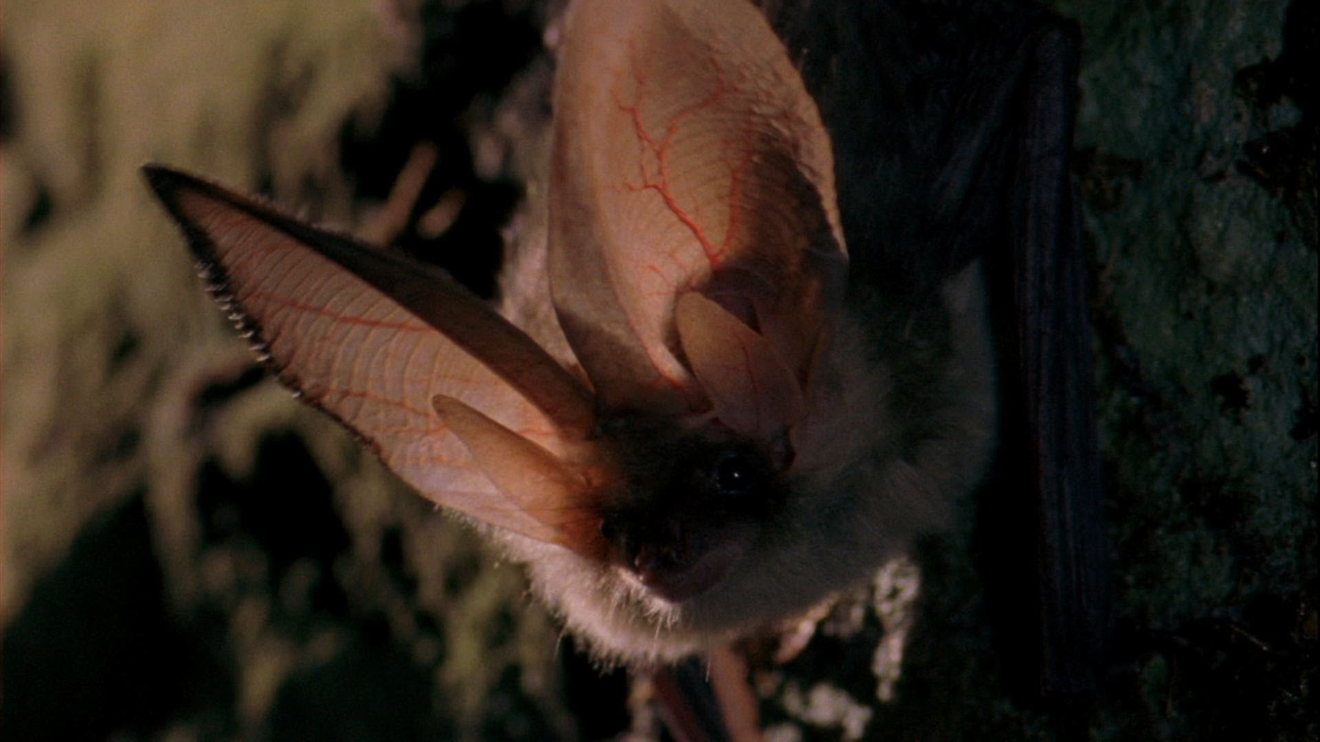 Northern Long-Eared Bat