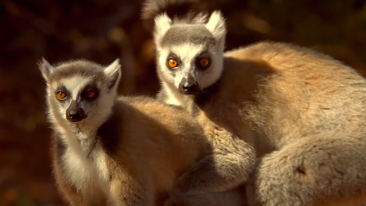 Lemur - Mating Ritual