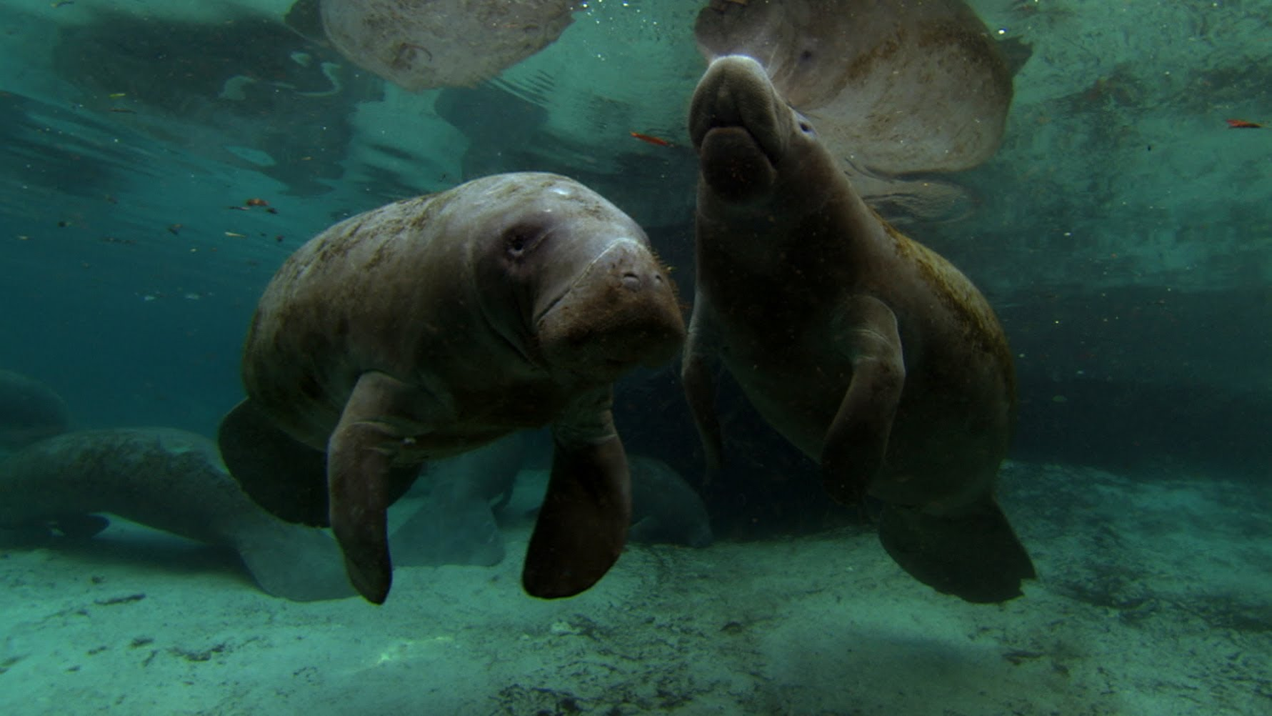 Manatee - Motherhood