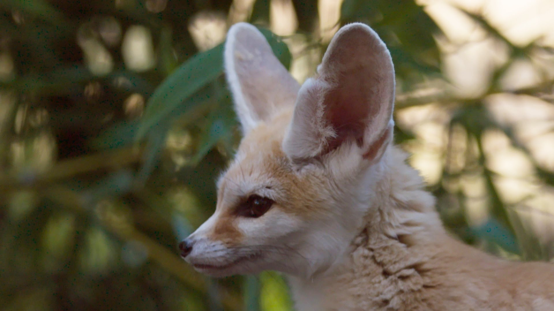 Fennec Fox - Ears