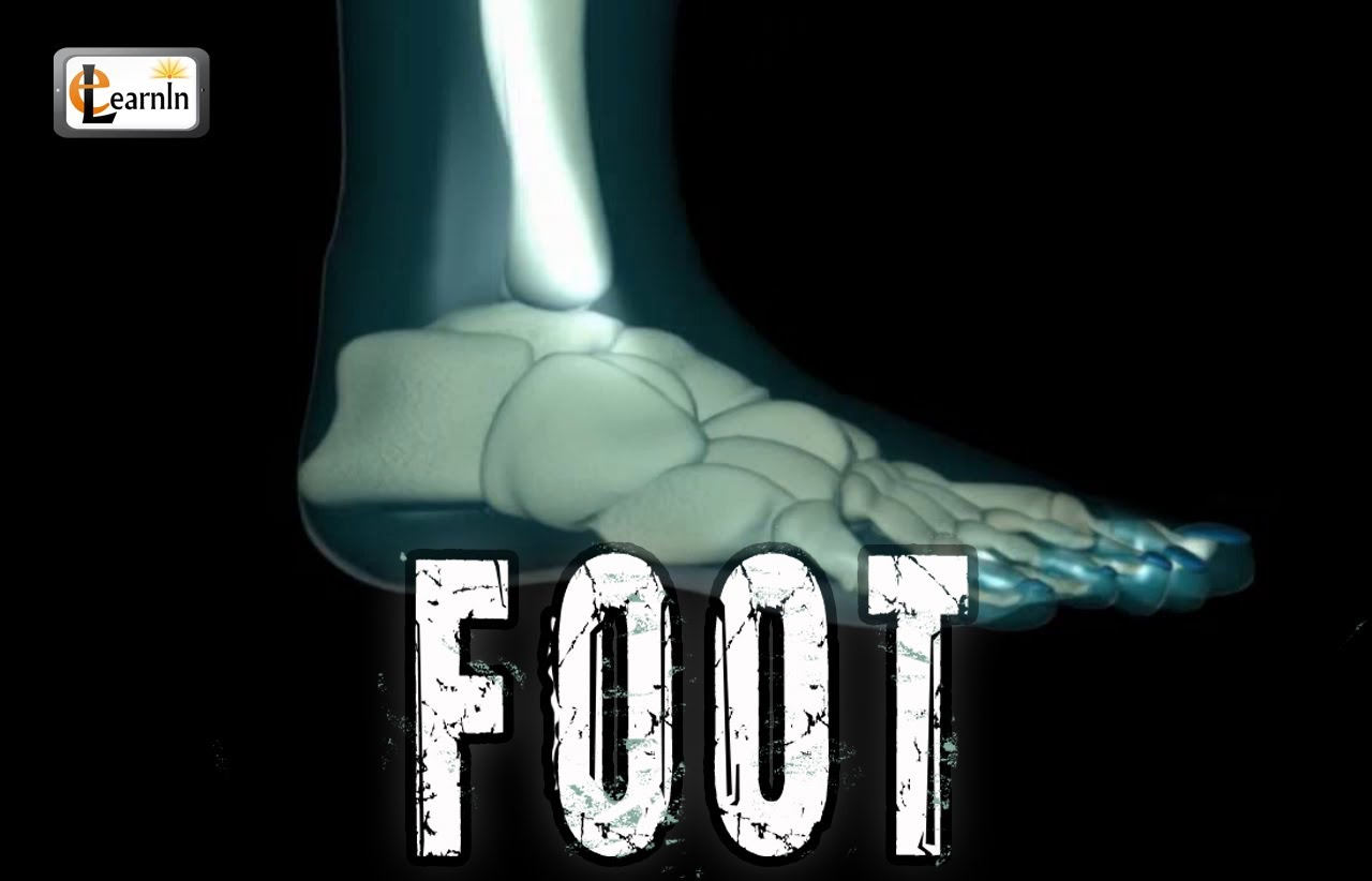 Foot - Bones