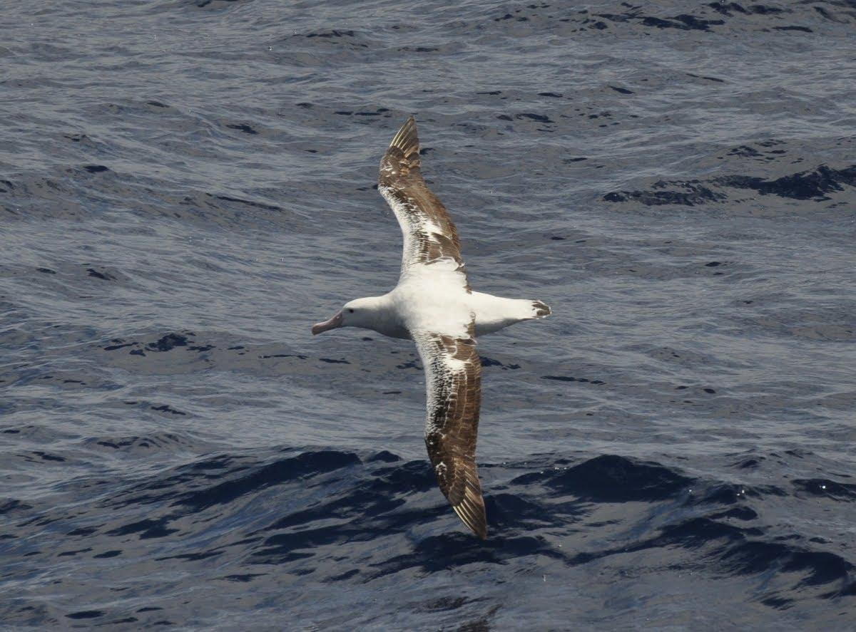 Albatross - The Science of Dynamic Soaring