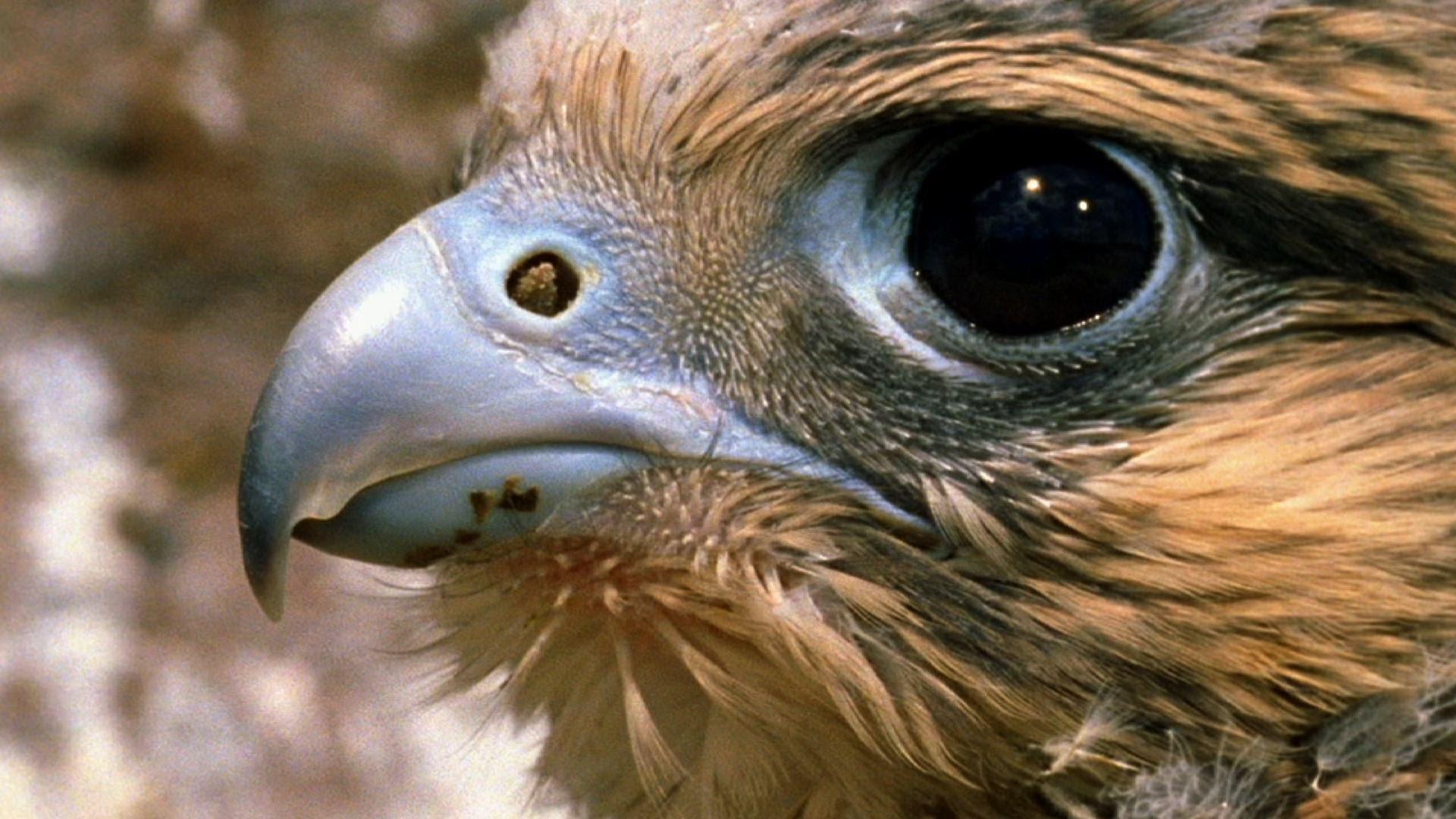 Peregrine Falcon - Hunting Technique