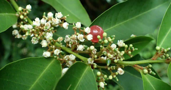 Glycosmis Pentaphylla