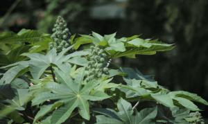 castor-oil-plant