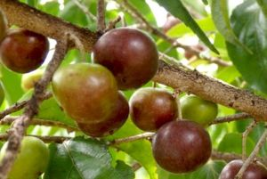 coffee plum