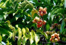 benefits pithraj tree medicinal herbs