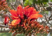 benefits indian coral tree medicinal herbs