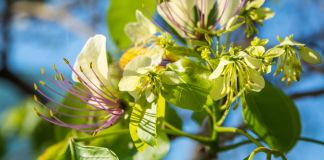 use-Caper tree-medicinal-herbs