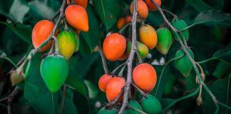 benefits-elengi-medicinal-herbs