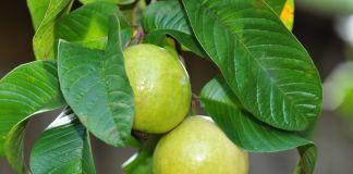 benefits guava medicinal herbs