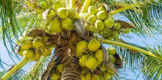 benefits-coconut-palm-medicinal-herbs