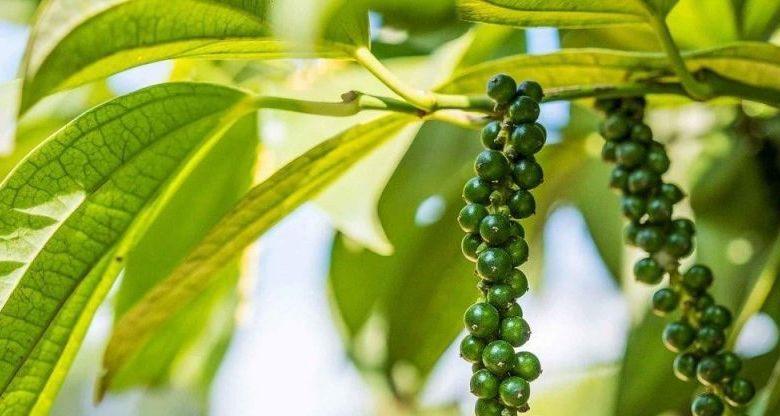 গোলমরিচ এর উপকারিতা ও ঔষধি গুনাগুন  - thoughtfully sourced masthead blackpepper 2x tyxo0u - গোলমরিচ এর উপকারিতা ও ঔষধি গুনাগুন