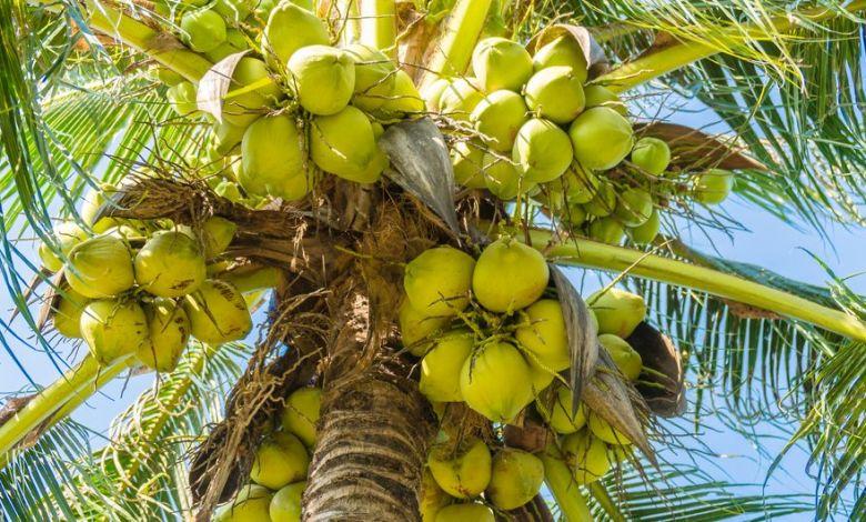 benefits-coconut-palm-medicinal-herbs নারিকেল এর উপকারিতা ও ঔষধি গুনাগুন - 5cab7319146d2 e1554740125992 hk93ko - নারিকেল এর উপকারিতা ও ঔষধি গুনাগুন