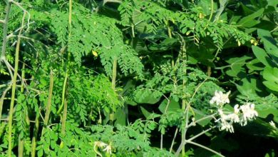 Photo of সাজনা এর উপকারিতা ও ঔষধি গুনাগুন সাজনা এর উপকারিতা ও ঔষধি গুনাগুন - Drumstick Moringa tee 176 oqmevi - সাজনা এর উপকারিতা ও ঔষধি গুনাগুন