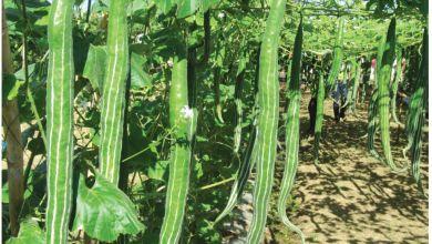 Photo of চিচিঙ্গা এর উপকারিতা ও ঔষধি গুনাগুন  - PAGE 48 49 cp2qsn - চিচিঙ্গা এর উপকারিতা ও ঔষধি গুনাগুন