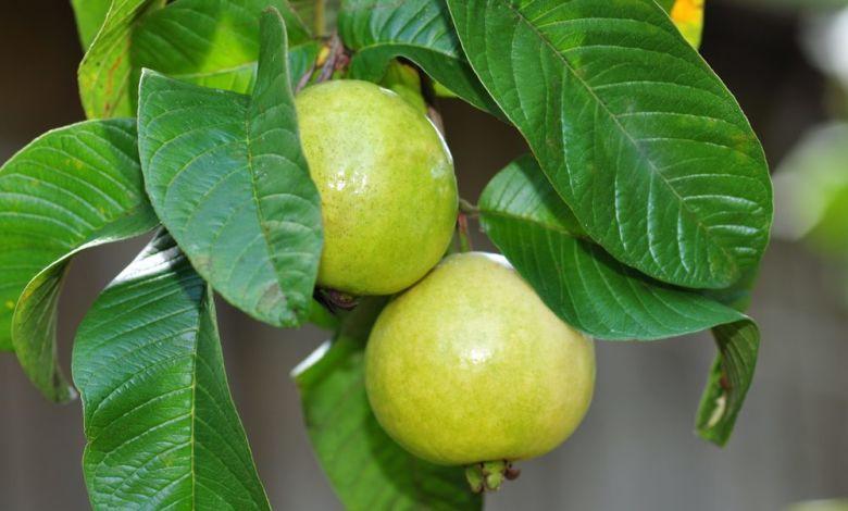 benefits guava medicinal herbs পেয়ারা এর উপকারিতা ও ঔষধি গুনাগুন - 5cb08efe45303 qciw7o - পেয়ারা এর উপকারিতা ও ঔষধি গুনাগুন