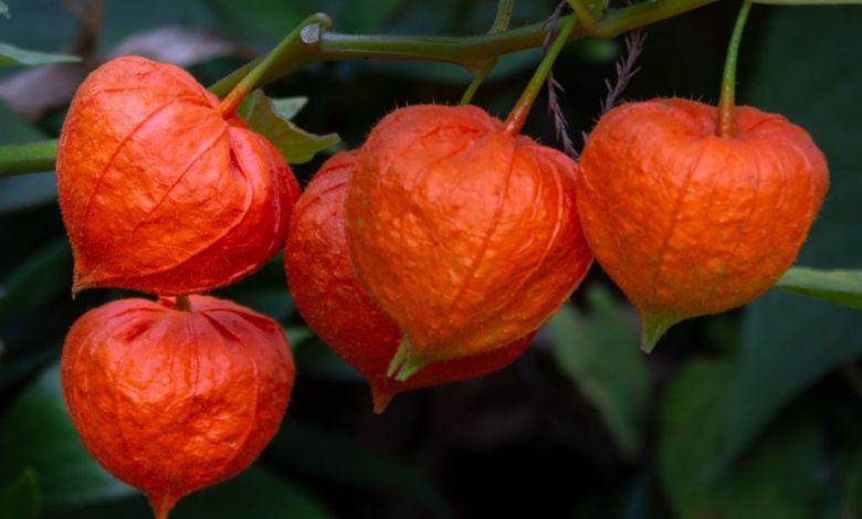 winter cherry অশ্বগন্ধা এর উপকারিতা ও ঔষধি গুনাগুন - winter cherry fruit gvbkx5 - অশ্বগন্ধা এর উপকারিতা ও ঔষধি গুনাগুন