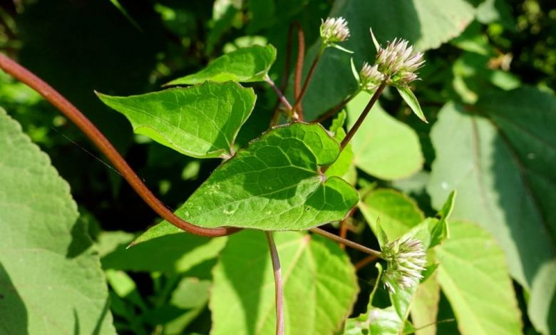 আসাম লতা এর উপকারিতা ও ঔষধি গুনাগুন  - mikania scandens leaves 2 bbaioa - আসাম লতা এর উপকারিতা ও ঔষধি গুনাগুন