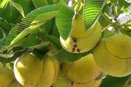 চালতা /elephant apple এর ঔষুধি গুন