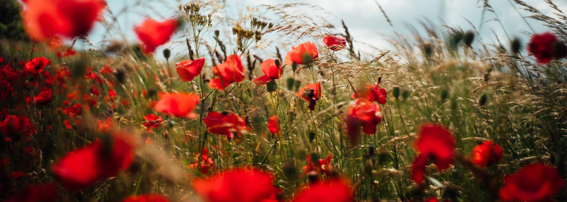 Fält med röda vallmoblommor